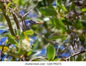 California Scrub jay (Aphelocoma californica) spotted outdoors
