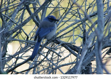 A California scrub jay (Aphelocoma californica) sits on bare branches in the Theodore J. Hoover Natural Preserve, a popular birding location near Davenport, CA, part of Big Basin Redwoods State Park.
