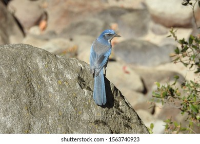 California scrub jay perched on a boulder, Sequoia National Forest, California.