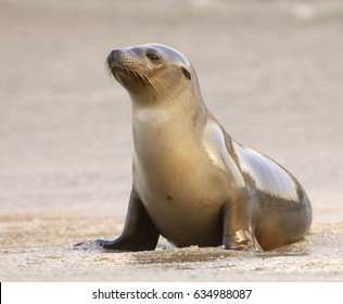 California Sea Lion on beach in morning light in La Jolla California