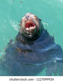 A California sea lion yawning as he relaxes in the warm sunshine.