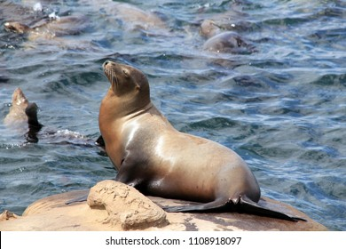 California Sea Lion (Zalophus Californianus) on a Rock, La Holla, California, United States