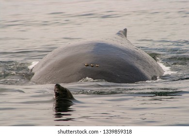 A California sea lion (Zalophus californianus) prepares to leap from the water as the broad body of a humpback whale (Megaptera novaeangliae) appears behind it. <<these are wild animals in the ocean>>