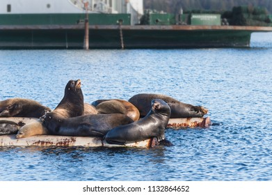 California Sea Lions hauled out on log booms at Fanny Bay, Vancouver Island, British Columbia, Canada. In the springtime these marine mammals are annual visitors to this location.
