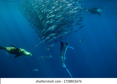 California sea lions and striped marlin competing to feed on a large mackerel bait ball, Baja California, Mexico.