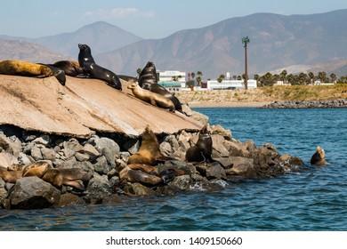 California Sea Lions sunbathing or a rocky shore in Ensenada Harbor in Baja California, Mexico.