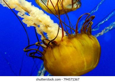 California sea nettle