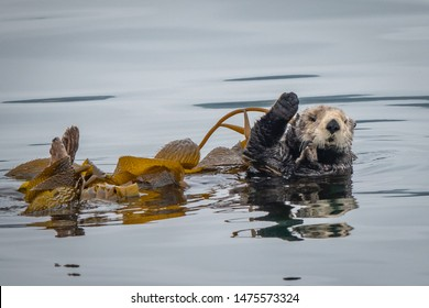 A California Sea Otter (Enhydra lutris) floats on its back in a kelp bed and waves to a passing boat along the central coast of California in Monterey Bay, near Big Sur and Carmel.  Bon Voyage!