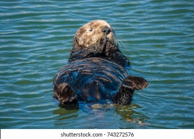 A California Sea Otter (Enhydra lutris) swims on its back along the central coast of California in Monterey Bay, near Big Sur and Carmel.