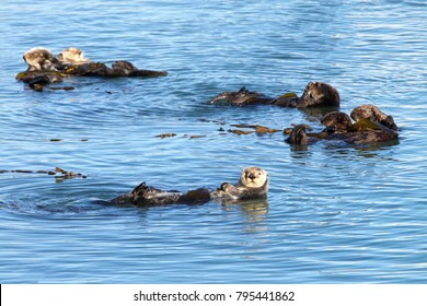 California Sea Otters grooming and playing in shallow ocean waters close to shore. Sea otters spend much of their time grooming. When eating, sea otters roll in the water frequently.