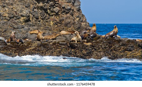 California Seals commonly called Sea Lions at the Channel Islands, California, USA