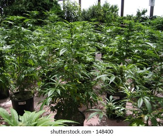 California Spring Medical Cannabis Plants