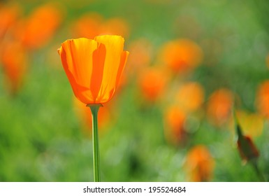California Spring Poppy