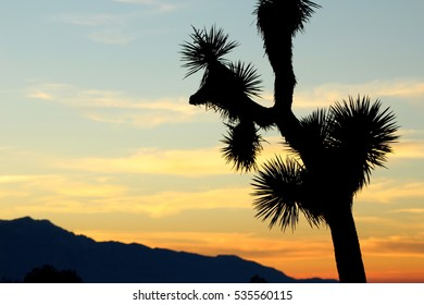 California Sunset with Silhouette Joshua tree