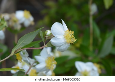 California tree anemone white flower - Latin name - Carpenteria californica