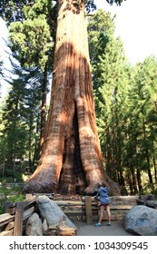 California / USA - August 23, 2015: A girl looks a Giant Sequoia trunk in the forest of Sequoia National Park, California, USA