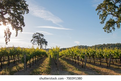 California Valley Oak tree in vineyard at sunrise in Paso Robles vineyard in the Central Valley of California United States
