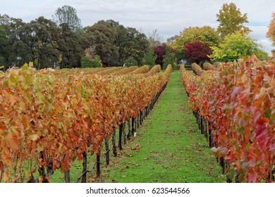 California Vineyard in Fall
