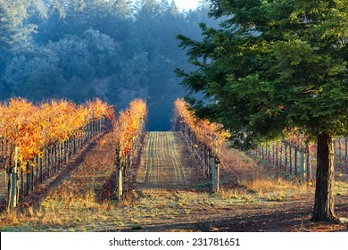 California vineyard lit by morning sun during the autumn season with brightly colored foliage