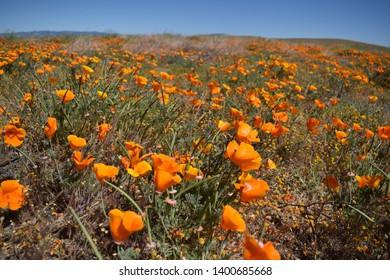 California wildflowers in bloom