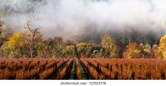 California wine country vineyard landscape in winter with fog drifting over the rows of grape vines. Location: Sonoma County wine region