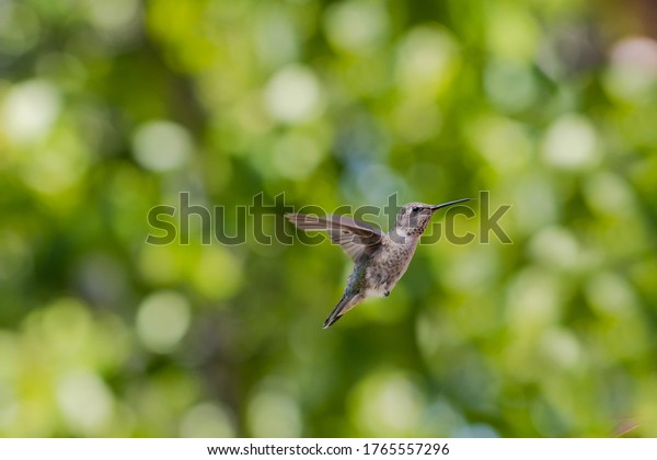 Californian green hummingbird with silk floss tree