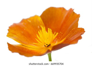 Californian poppy (Eschscholzia californica), isolated on white