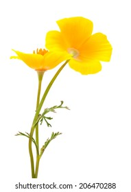 Californian poppy isolated on white