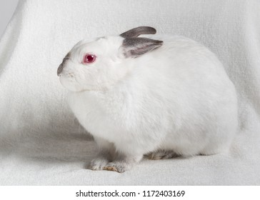 Californian rabbit small breed, white with dark ends, side profile and looking at the camera. Indoors portrait with plain light background.