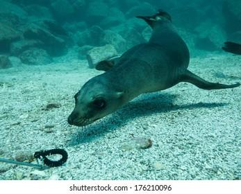 Californian sea lion in Baja California