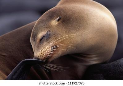 Californian sea lion, Galapagos, Ecuador