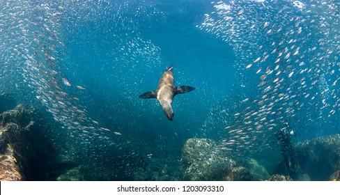 Californian sea lion hunting bait fish, Sea of Cortes, Mexico.