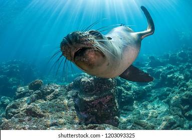 Californian sea lion, Los Islotes, Mexico.