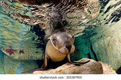 A Californian sea lion of Mexico's Baja California