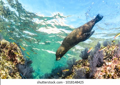 Californian sea lion (Zalophus californianus) swimming and playing in the reefs of los islotes in Espiritu Santo island at La paz,. Baja California Sur,Mexico.