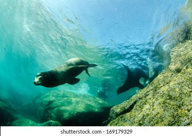 Californian sea lion (Zalophus californianus) swimming and playing in the reefs of Cabo Pulmo National Park, Cousteau once named it The world's aquarium. Baja California Sur,Mexico.