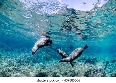 Californian sea lion (Zalophus californianus) swimming and playing in the reefs of los islotes in Espiritu Santo island at La paz,The world's aquarium. Baja California Sur,Mexico.