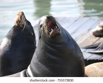 Californian sea Lions barking