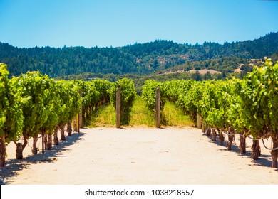 Californian vineyard landscape in Napa Valley in summertime