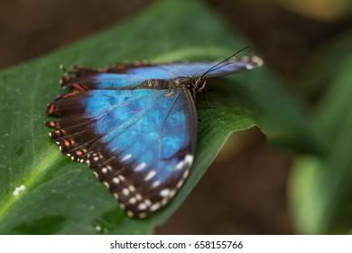caligo eurilochus on leaf