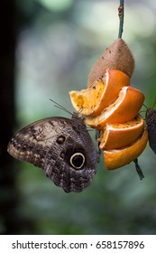 caligo eurilochus with oranges