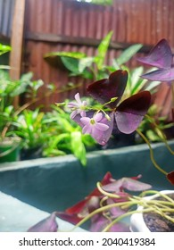 Calincing butterfly, red calincing, purple calincing or butterfly flower is one of the ornamental plants that comes from the genus oxalis. This plant is an edible perennial plant, belonging to the fam