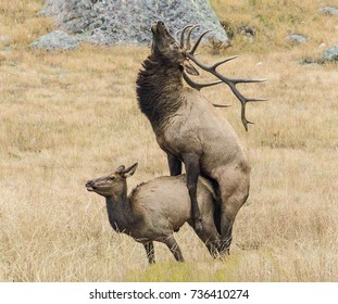 Call of the Wild - A bull elk mates with one of the cow elk in his herd during the elk rut.