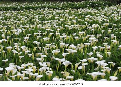calla field