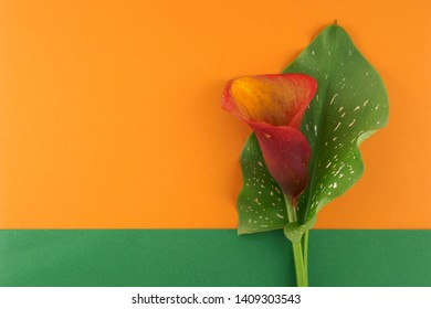 calla flower. Orange flower calla with green leaf on the combined orange-green background.Flower card with copy space