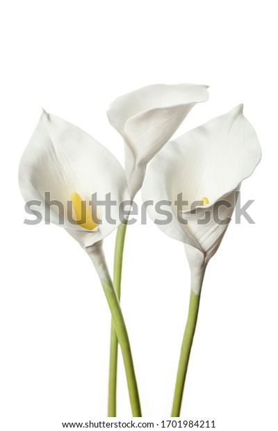 Calla flowers isolated on white background, delicate art for congratulations on birthday or wedding.