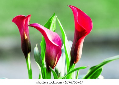 Calla flowers on blurred macro background. Romantic greeting card. Araceae, Calla palustris