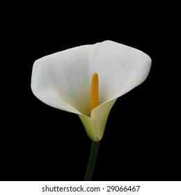 calla isolated on black