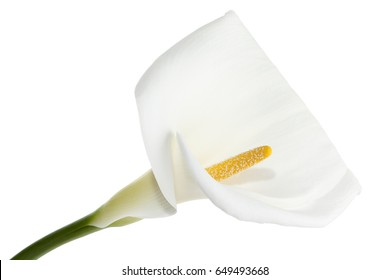 Calla Lilies flower; isolated on white background