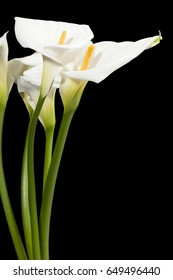 Calla Lilies flower; isolated on black background